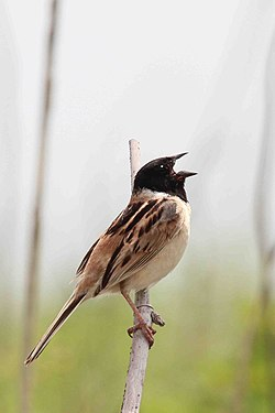 A Japanese reed bunting.jpg