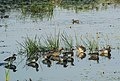 A flock of Garganey in Kannur 1.jpg