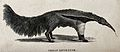A great ant-eater. Etching. Wellcome V0021247.jpg