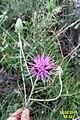 A local knapweed (or not?) (MakGi) (34216614833).jpg