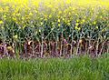 A rapeseed field in the Lincolnshire Vales, South Kesteven, England 7.jpg