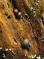 A slime mould - Lycogala epidendrum - geograph.org.uk - 1998947.jpg