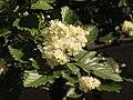 Ab plant 1731.jpg