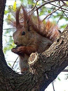 L'écureuil et l'homme  dans ECUREUIL 220px-Ab_sciurus_vulgaris
