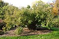 Abelia chinensis - Brooklyn Botanic Garden - Brooklyn, NY - DSC07951.JPG