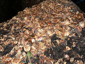 Douglas squirrel - Pacific silver fir cone debris from feeding Douglas squirrels, North Cascades National Park