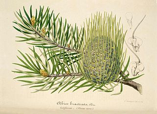 <i>Abies bracteata</i> Species of conifer