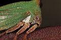 Acacia Horned Treehopper (23995128172).jpg