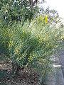 Acacia aphylla 01.jpg