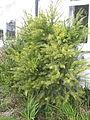 Acacia boormanii (16450332400).jpg