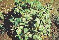 Acalypha virginica.jpg