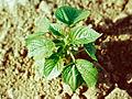 Acalypha virginica 1391233.jpg
