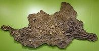 Acamptonectes specimen fosil descoperit în Germania în 2005