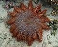 Acanthaster planci mauritiensis.jpg