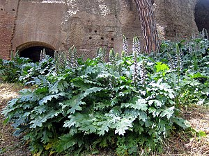 Acanthus (plant) - An acanthus plant (A. mollis) flowering in the ruins of the Palatine Hill, Rome, May 2005