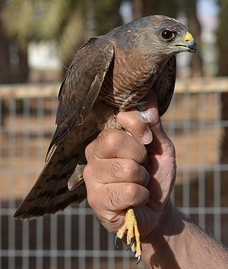 Levant sparrowhawk - Image: Accipiter brevipes 1