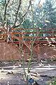 Acer circinatum - Dunsmuir Botanical Gardens - DSC02904.JPG