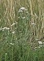 Achillea ptarmica kz01.jpg