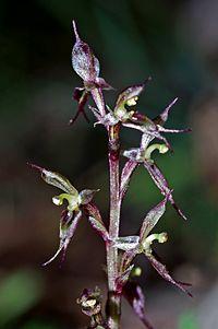 Typart Acianthus exsertus