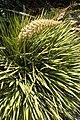 Aciphylla aurea kz4.jpg