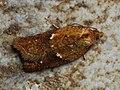 Acleris aspersana - Ginger button - Плоская листовёртка клубничная (30621652048).jpg