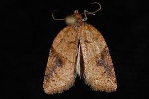 Acleris britannia - Image: Acleris britannia