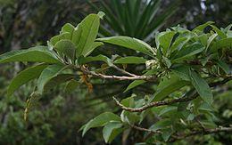 Acnistus arborescens 2