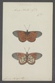 Acraea - Print - Iconographia Zoologica - Special Collections University of Amsterdam - UBAINV0274 049 14 0003.tif
