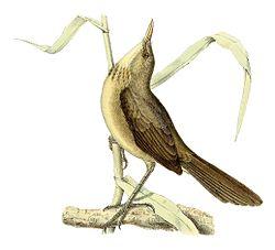 Acrocephalus newtoni 1868.jpg