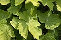 Actaea podocarpa - foliage.jpg