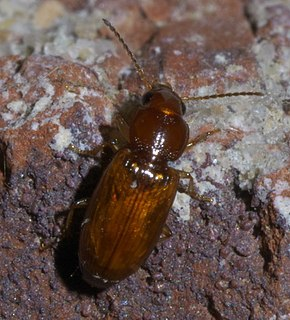 Harpalitae Supertribe of ground beetles
