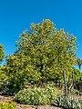 Adansonia madagascariensis Arid Zone garden Brisbane Botanic Gardens Mt Coot-tha L1080326.jpg