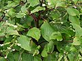 Adelocaryum coelestinum (Lindl.) Brand (5086245910).jpg