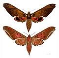 Adhemarius ypsilon MHNT femelle.jpg