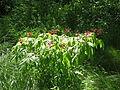 Aesculus pavia (18154378325).jpg