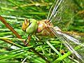 Aeshna isoceles (Odonata sp.), Arnhem, the Netherlands.jpg