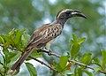 African Grey Hornbill (Tockus nasutus) male (11477408666).jpg