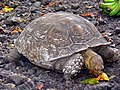 African Spurred Tortoise (Geochelone sulcata) captive specimen eating papaya ... (21374932018).jpg