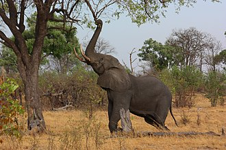 African bush elephant - A bull elephant stretching up to break off a branch in the Okavango Delta, Botswana