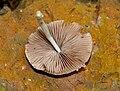 Agaricus species W IMG 2709.jpg