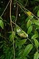 Agarista populifolia, Conservatoire botanique national de Brest 04.jpg