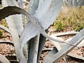 Agave americana (39526402411).jpg