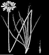 Agoseris glauca laciniata drawing.png