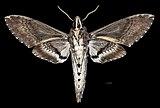 Agrius cingulata MHNT CUT 2010 0 208 Itatiaia National Park Brazil male ventral.jpg