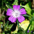 Agrostemma githago 9163.jpg