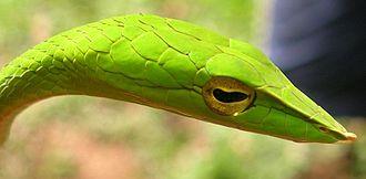 Snake scale - Elaborately shaped scales on the head of a Vine snake, Ahaetulla nasuta.