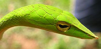 The slender light-green pointed head of a vine snake is shown facing the right side. It has ridged snout with a small tubercle at the end and golden eyes with a horizontal black slot-shaped pupil. Scales on top of the head are clearly visible due to the sunlight coming from left above.