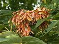 Ailanthus altissima, 2015-06-28, Three Rivers Heritage Trail, 01.jpg