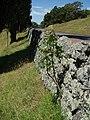 Ailanthus altissima (Mill.) Swingle (AM AK301471).jpg