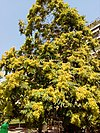 Ailanthus altissima - Αείλανθος ο υψηλότατος 01.jpg